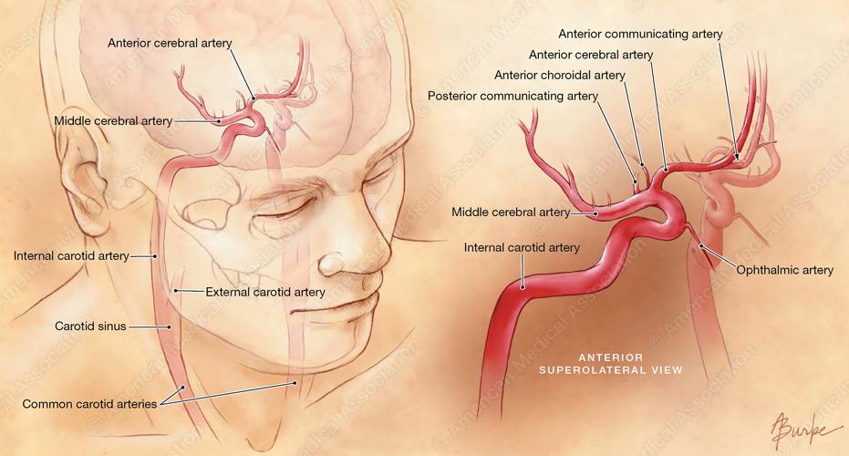 Carotid arteries anatomy